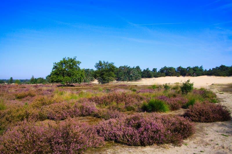 Ver sobre o campo de saúde com flores roxas florescentes de heather erica em dunas de areia com floresta verde de coníferas contr foto de stock