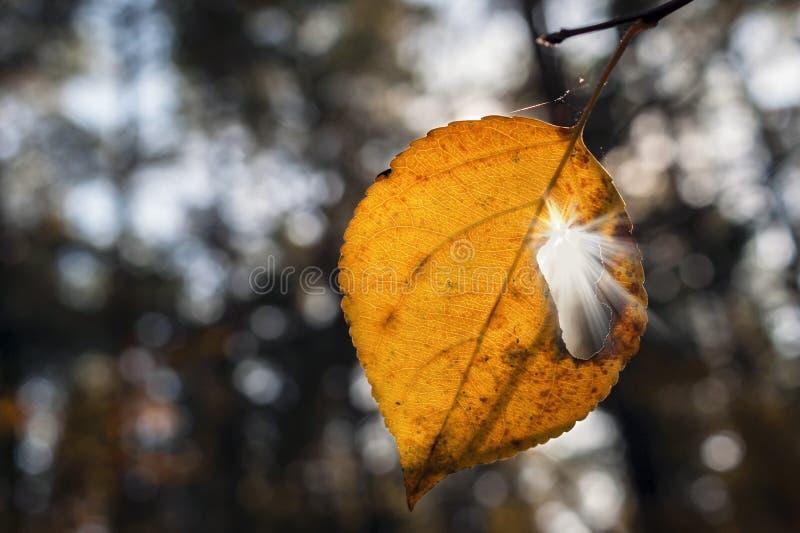 Verandering van seizoenen Geel Blad op een Tak in Forest On Sunny Autumn Day With Sun Rays die door het Gat daarin richten stock foto's
