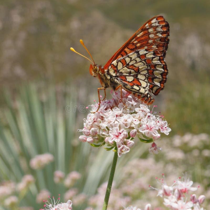 Veranderlijke chalcedonavlinder van Checkerspot Euphydryas royalty-vrije stock afbeelding