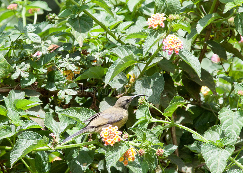 Veranderlijke sunbird in een bloeiende struik royalty-vrije stock foto's