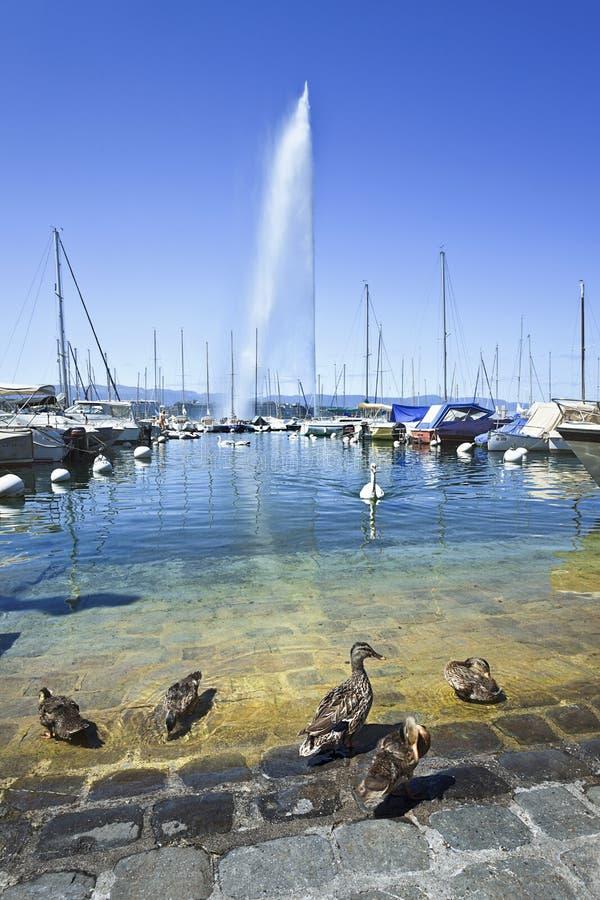 Verankerte Yachten mit Enten auf Vordergrund, Genf, die Schweiz lizenzfreie stockfotos
