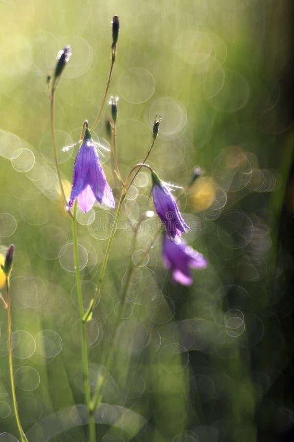 Verano de la primavera de las campanillas de las flores salvajes fotografía de archivo