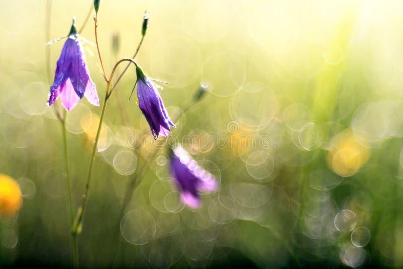 Verano de la primavera de las campanillas de las flores salvajes lindo fotos de archivo libres de regalías