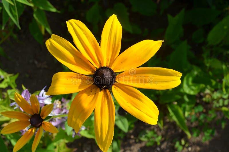 Verano en Nueva Escocia: Susan Flowers, de ojos negros imagenes de archivo