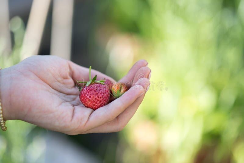 Verano: Fresas rojas frescas en la mano de una muchacha foto de archivo