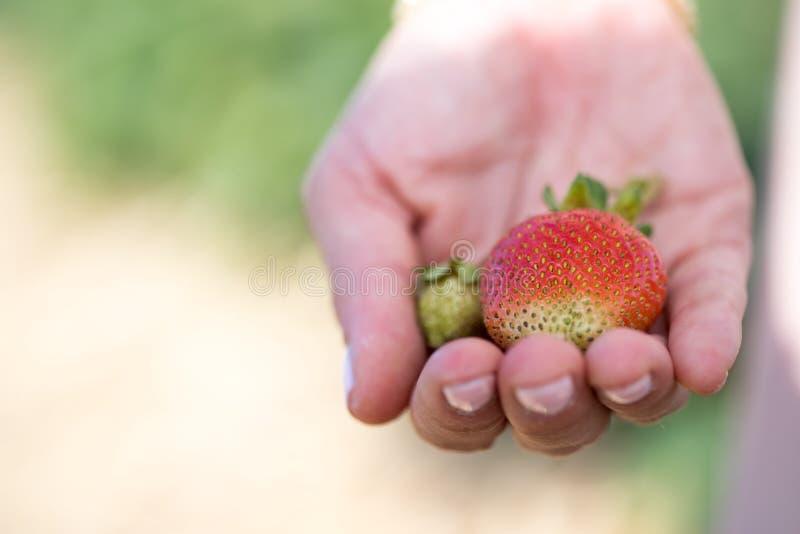 Verano: Fresas rojas frescas en la mano de una muchacha fotos de archivo