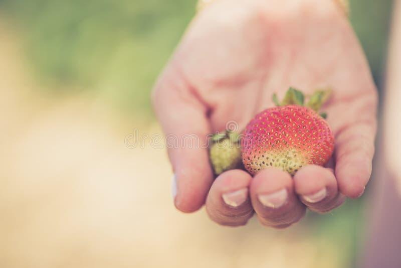 Verano: Fresas rojas frescas en la mano de una muchacha fotos de archivo libres de regalías