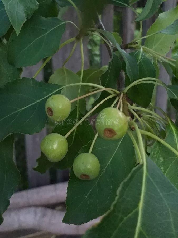 verano La cosecha comienza a aparecer Pero no es maduro todavía, como esas pequeñas manzanas foto de archivo