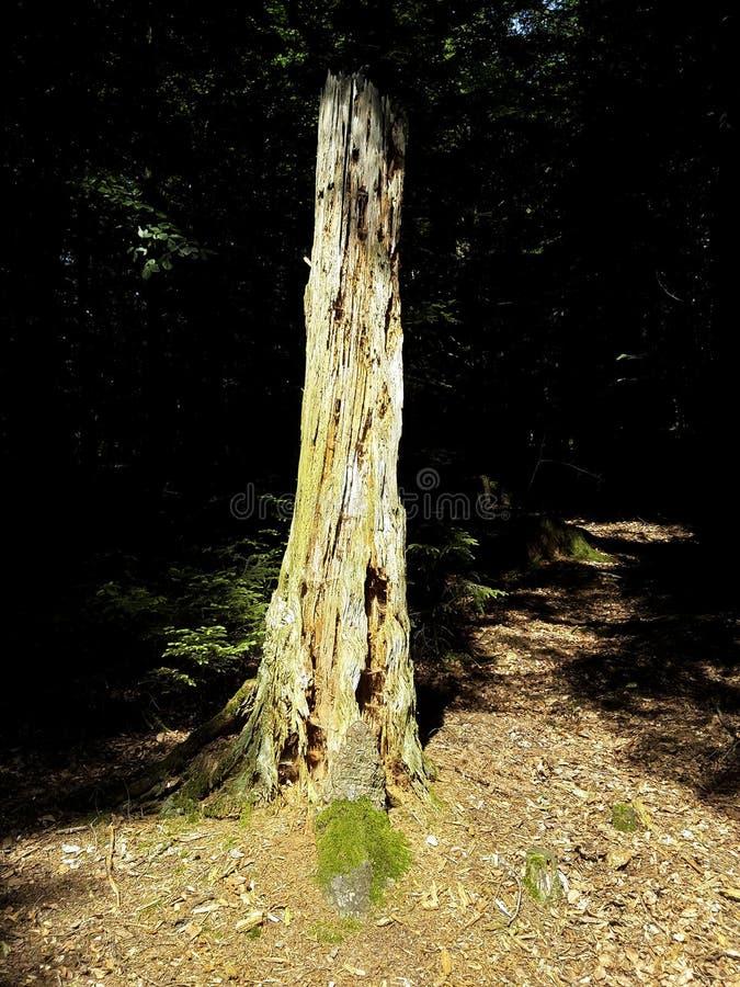 Verano muerto de la sombra de la hierba del bosque del árbol del tocón de árbol fotografía de archivo libre de regalías