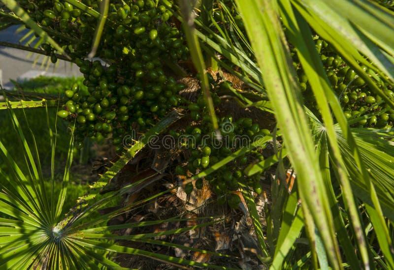 Verano subtropical de la fruta de la palma datilera foto de archivo