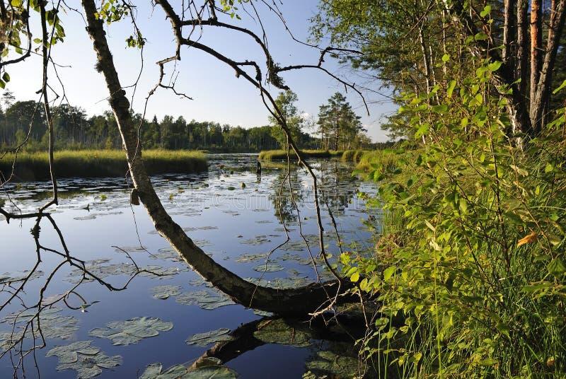 Verano sueco caliente en bosque fotos de archivo libres de regalías
