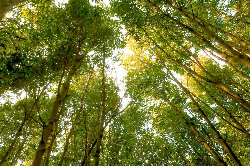 Verano Sun de la primavera que brilla a trav?s del toldo de ?rboles altos Luz del sol en el bosque de hojas caducas, naturaleza d imagen de archivo libre de regalías