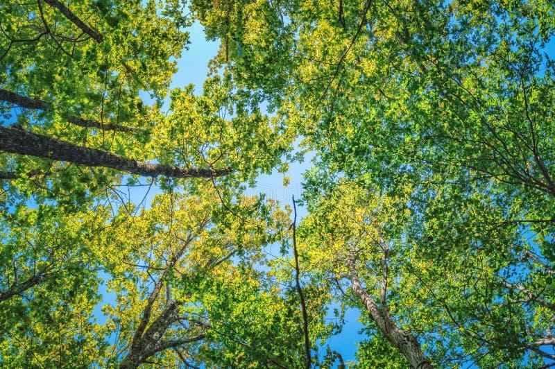 Verano Sun que brilla a través del toldo del bosque de los árboles altos foto de archivo libre de regalías