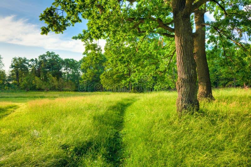 Verano Sunny Forest Trees And Green Grass Naturaleza fotos de archivo libres de regalías