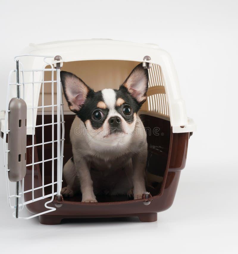 Verbaasde Chihuahua royalty-vrije stock fotografie