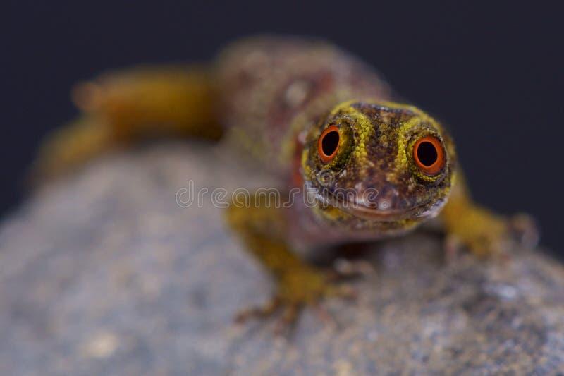 Verbandsinselgecko/Gonatodes-daudini stockbild