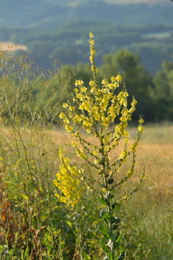 Verbascum в природе стоковые фотографии rf