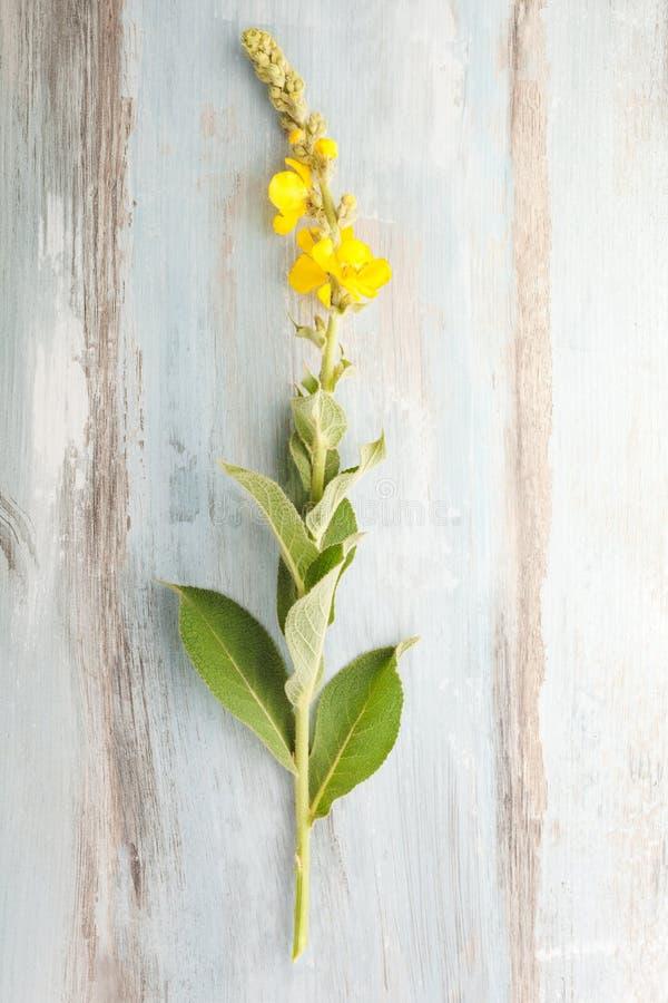Verbascum, общее mullein стоковое изображение rf