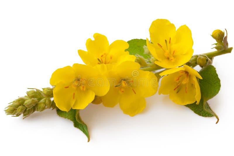 Verbascum, общий цветок mullein изолированный на белой предпосылке Лекарственное растение, нетрадиционная медицина стоковые изображения rf