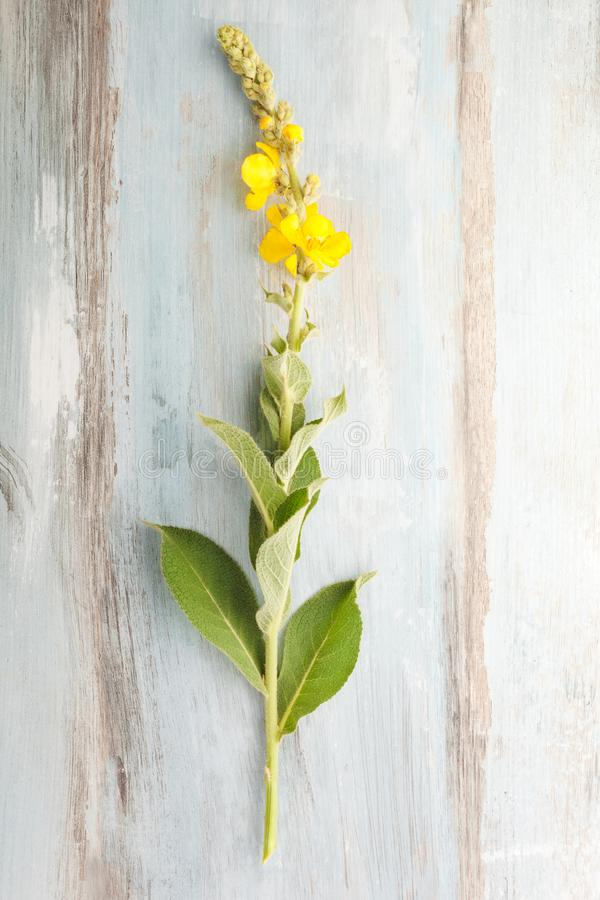 Verbascum, common mullein. royalty free stock image