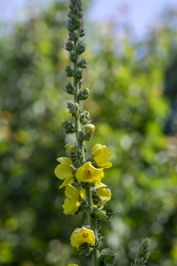 Free Verbascum Densiflorum Bright Yellow Denseflower In Bloom, Tall Flowering Herb Medicinal Plant Royalty Free Stock Photography - 192029907