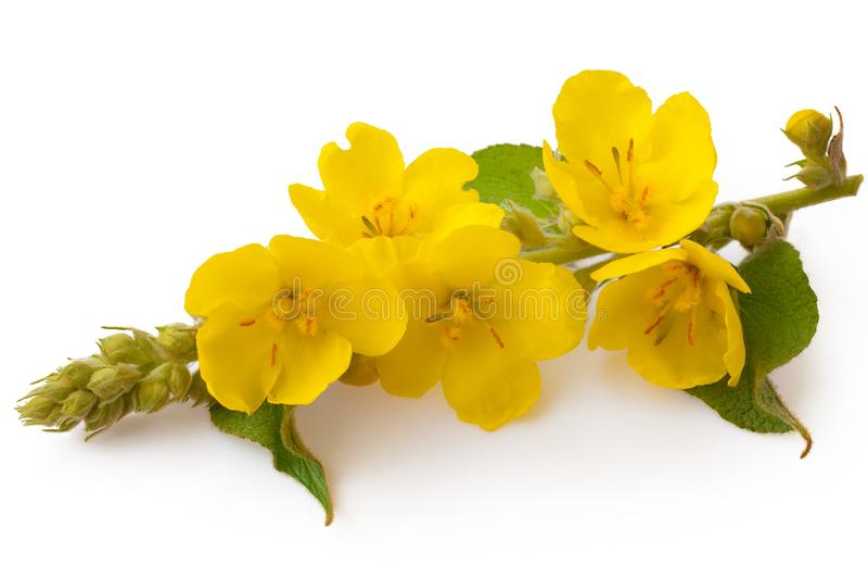 Verbascum, fiore di verbasco comune isolato su fondo bianco Pianta medicinale, medicina alternativa immagini stock libere da diritti
