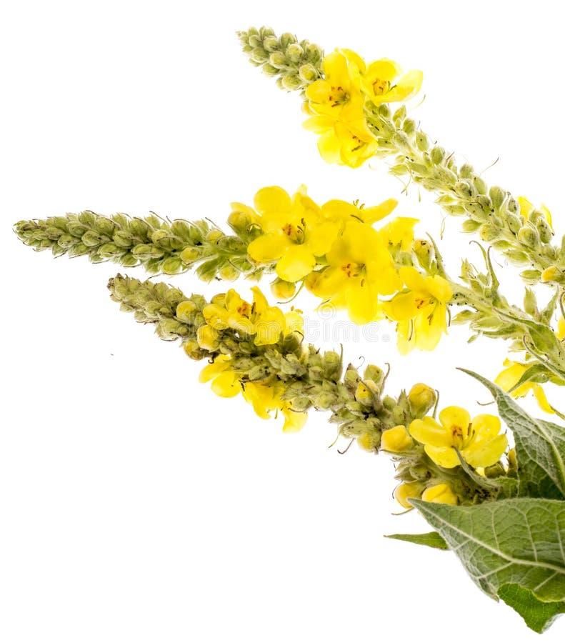 Verbascumdensiflorum - mullein bloem stock foto's