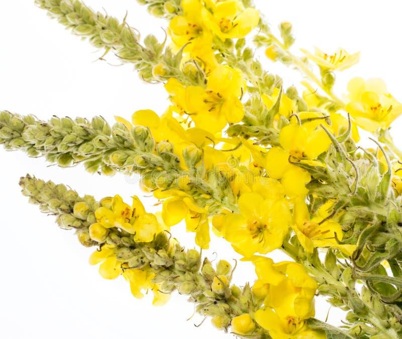 Verbascumdensiflorum - mullein bloem royalty-vrije stock afbeelding