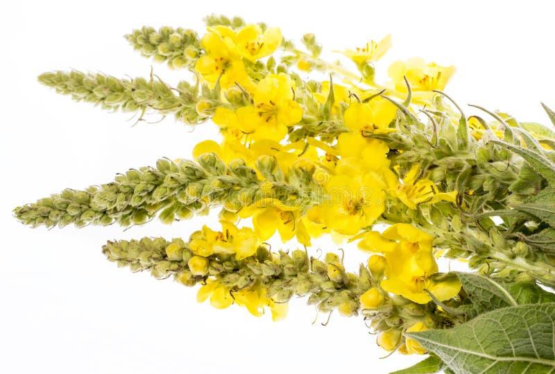 Verbascumdensiflorum - mullein bloem royalty-vrije stock fotografie