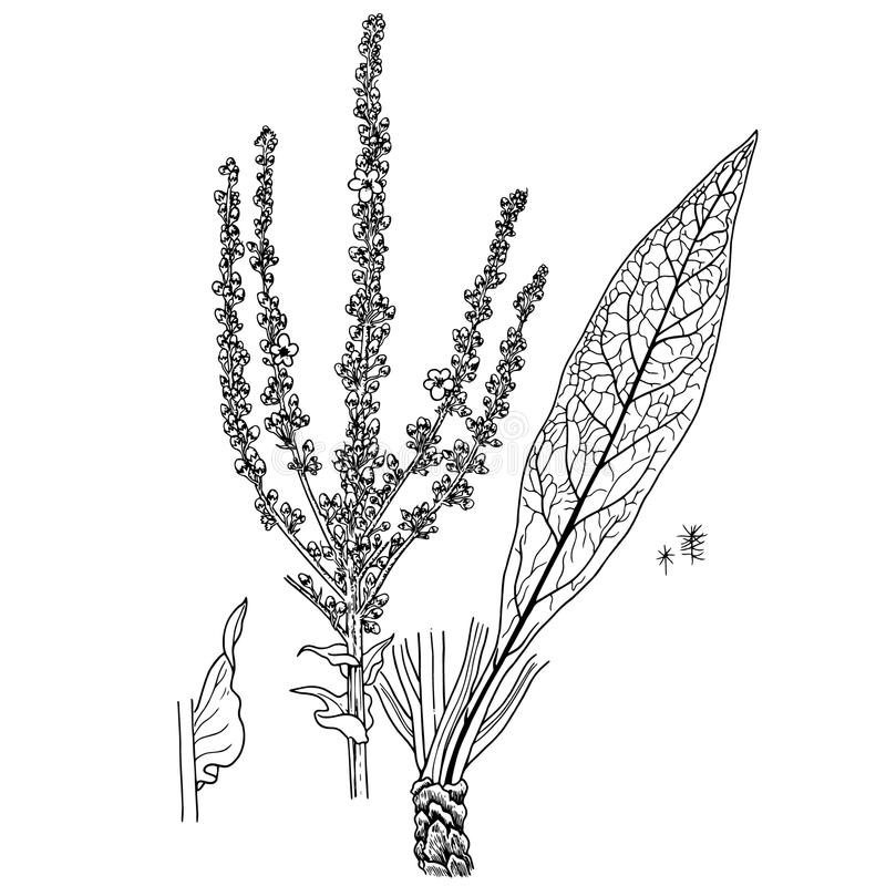 Verbascumspeciosum vektor illustrationer