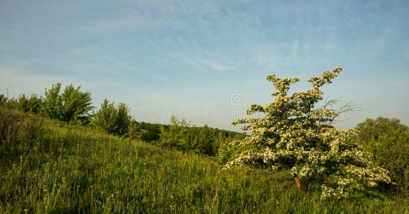Verbazend de lentelandschap en een bloeiende haagdoornboom royalty-vrije stock afbeelding