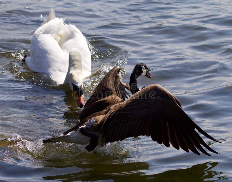 Verbazend emotioneel ogenblik met de zwaan die de gans van Canada aanvallen royalty-vrije stock afbeeldingen