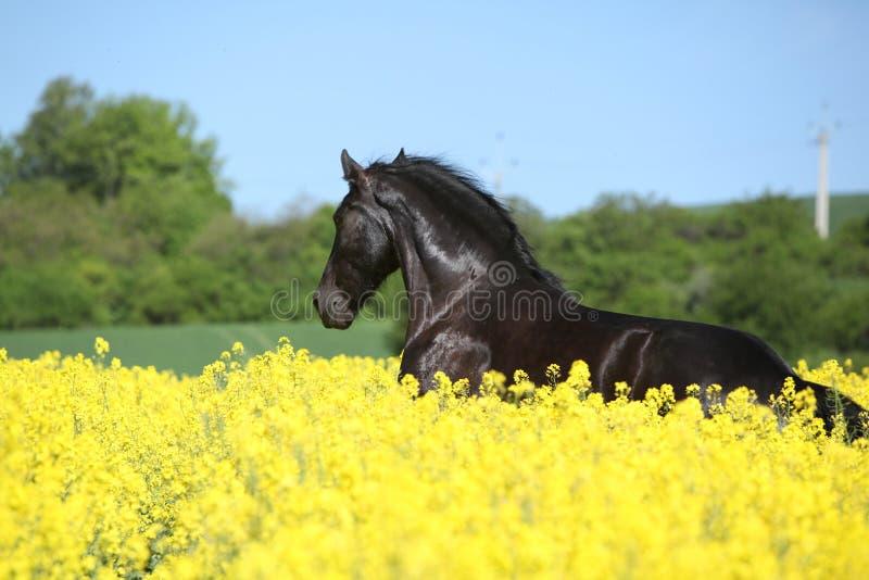 Verbazend friesian paard die op koolzaadgebied lopen royalty-vrije stock foto