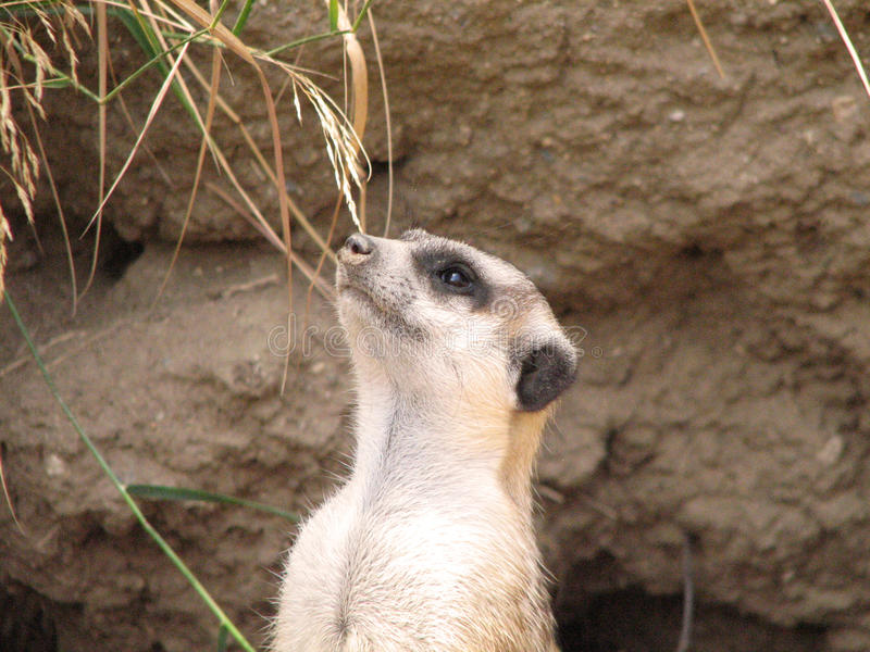 Verbazend Gezicht van een Meerkat royalty-vrije stock afbeeldingen