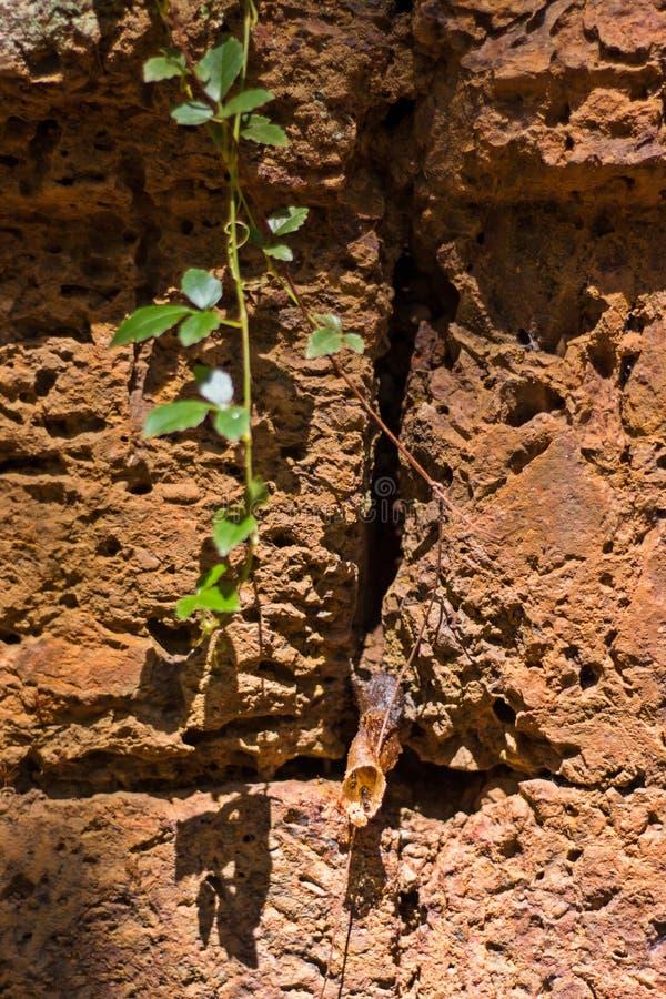 Verbazend Stingless Honey Bees, Meliponines-Nest Stingless bijen, of geroepen stingless honingbijen of eenvoudig meliponines die  stock foto's