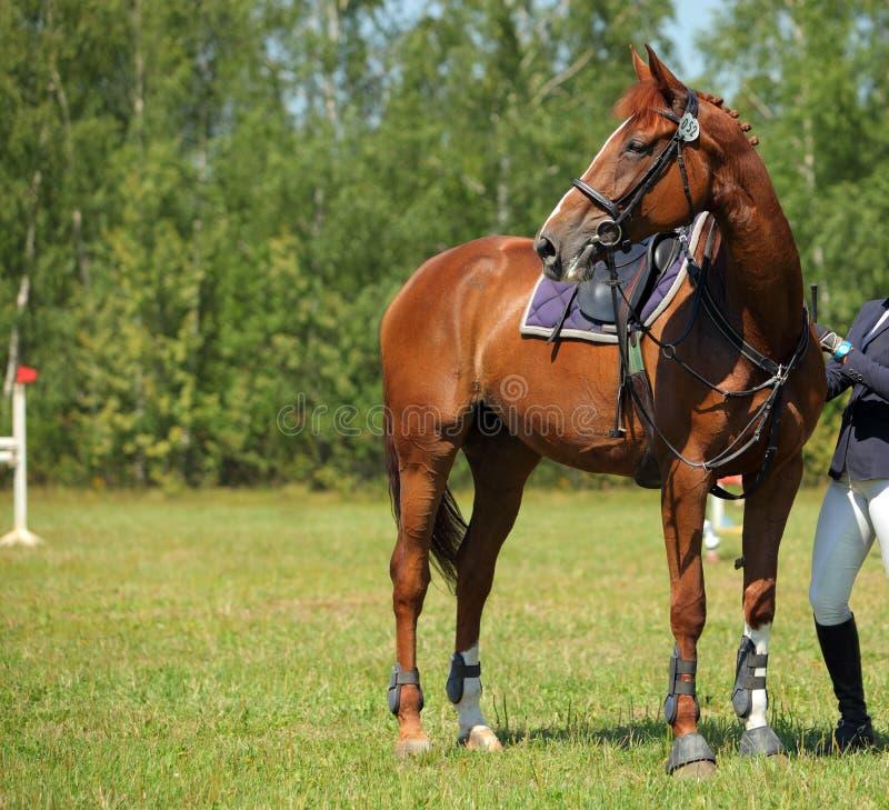 Verbazend Trakehner-paard in de zomerhout royalty-vrije stock afbeeldingen