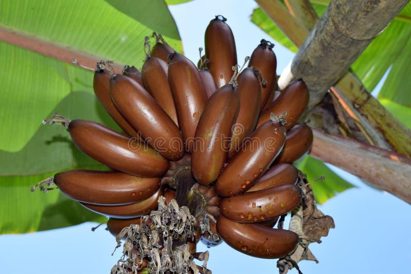 Verbazende Bruine Musa banaanbundel - MUSACEAE royalty-vrije stock foto's