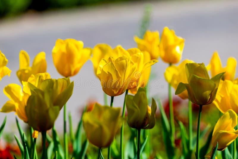 Verbazende de lente bloemenachtergrond, gele tulpenbloemen stock afbeeldingen