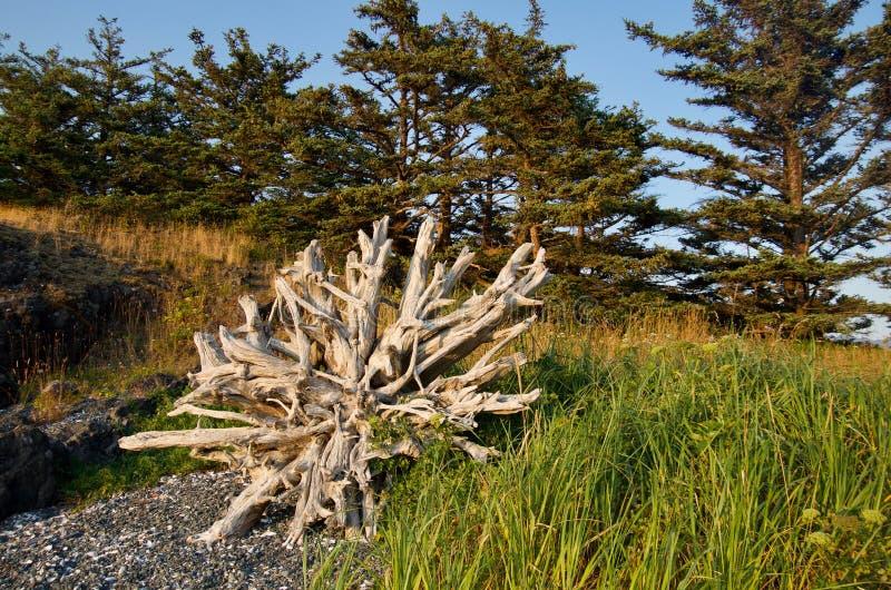 Verbazende die wortelbal van drijfhoutlogboek door bomen en strandgras wordt ontworpen in recent avondlicht stock afbeeldingen
