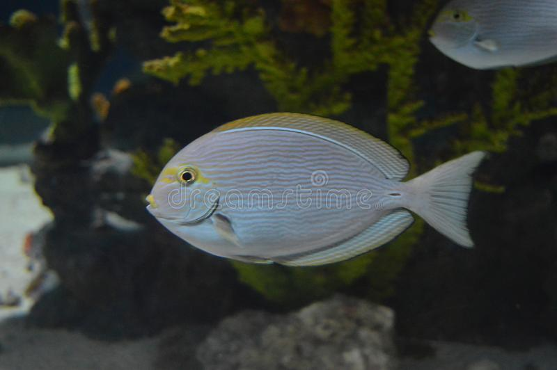 Verbazende exotische vissen in aquarium, close-up royalty-vrije stock foto