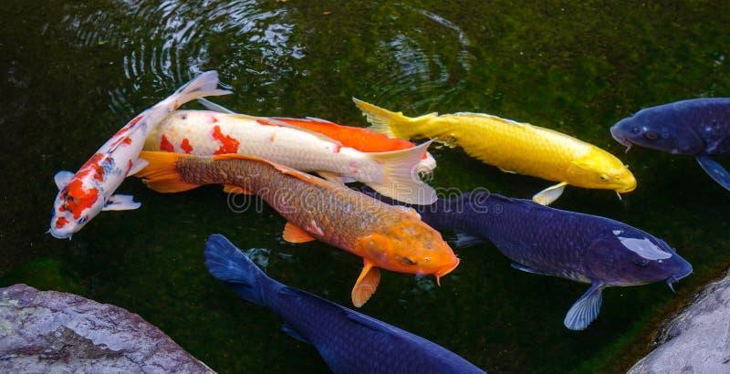 Verbazende Koi-vissenvijver in Kanazawa, Japan royalty-vrije stock afbeeldingen