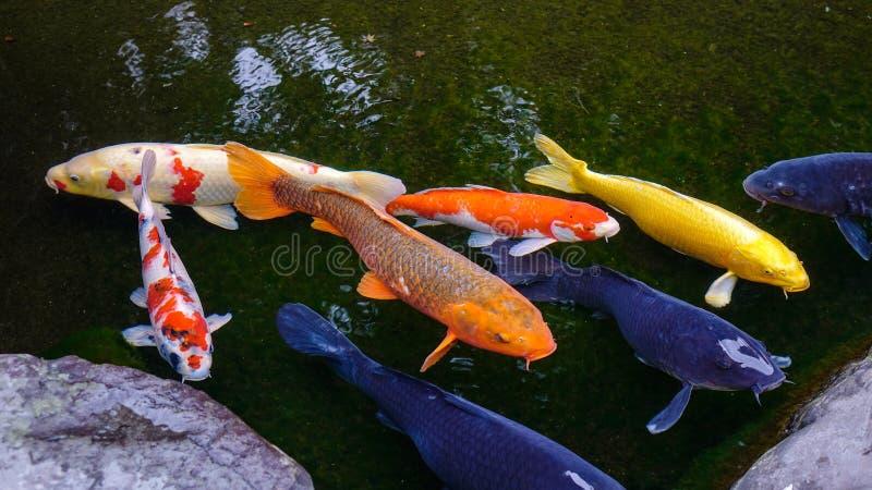 Verbazende Koi-vissenvijver in Kanazawa, Japan stock fotografie