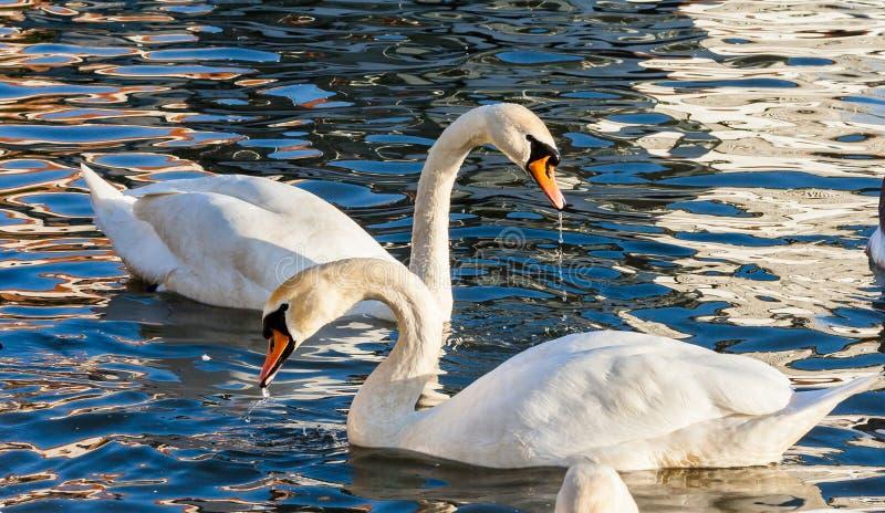 Verbazende mening, liefdezwanen Olor van twee Zwanencygnus zwemt op de Vistula-rivier in Krakau royalty-vrije stock fotografie