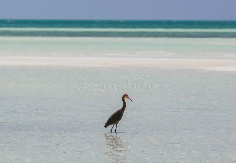 Verbazende mening van eenzame vogel die in de oceaan bij het eiland van Cayo Coco, Cuba, op zonnige dag lopen royalty-vrije stock fotografie