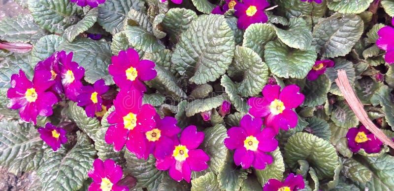 Verbazende Primula stock foto's