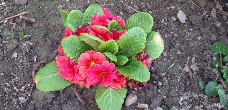 Verbazende Primula stock afbeelding