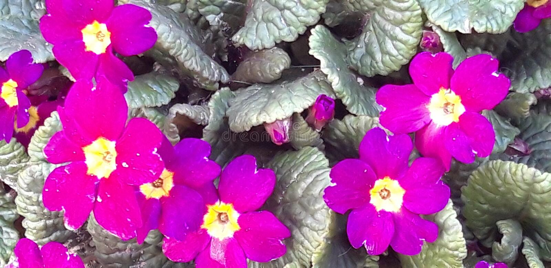 Verbazende Primulabloemen stock fotografie