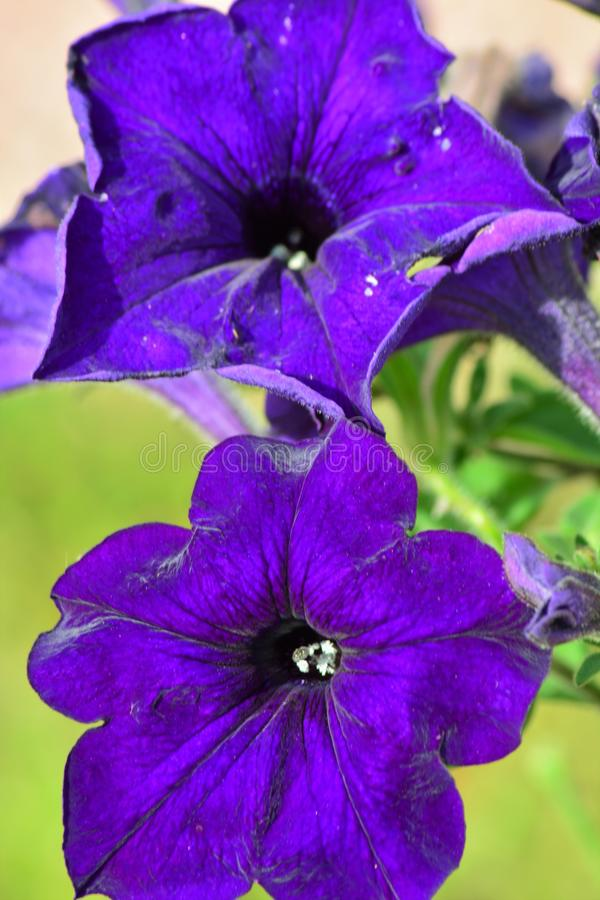 verbazende purpere blauwe bloem met fluweelgloed royalty-vrije stock fotografie