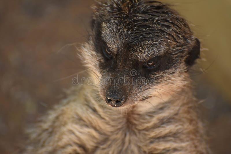 Verbazende Vangst van het Gezicht van een Meerkat royalty-vrije stock afbeeldingen
