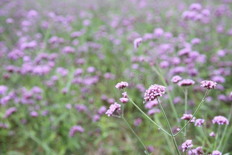 Verbena το bonariensis ανθίζει τον τομέα στοκ εικόνες